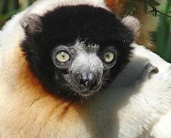 Lemur Week