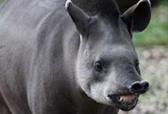 Brazillian tapir
