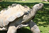 Aldabara Giant Tortoise