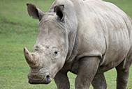Southern white rhino