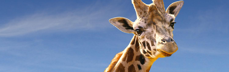main-image-giraffe