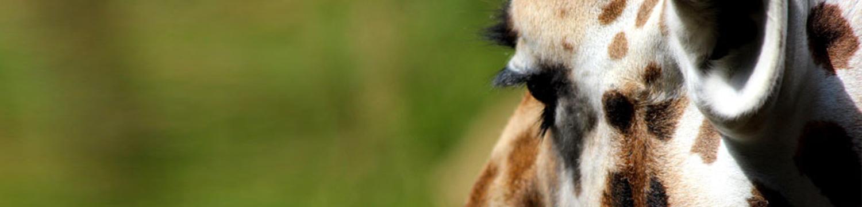 main-image-home-giraffe