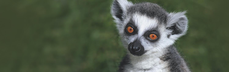 main-image-lemurs
