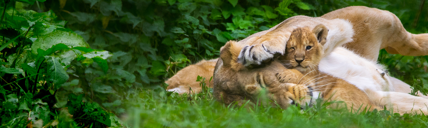 main-image-lion-cubs