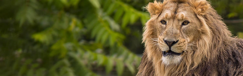 main-image-lions