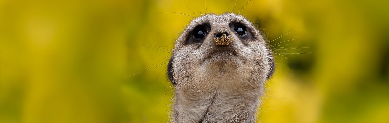 main-image-meerkats