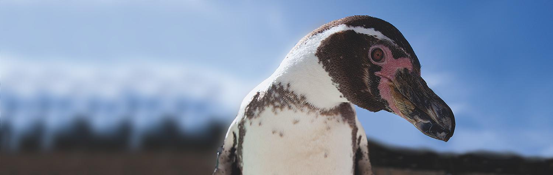 main-image-penguin