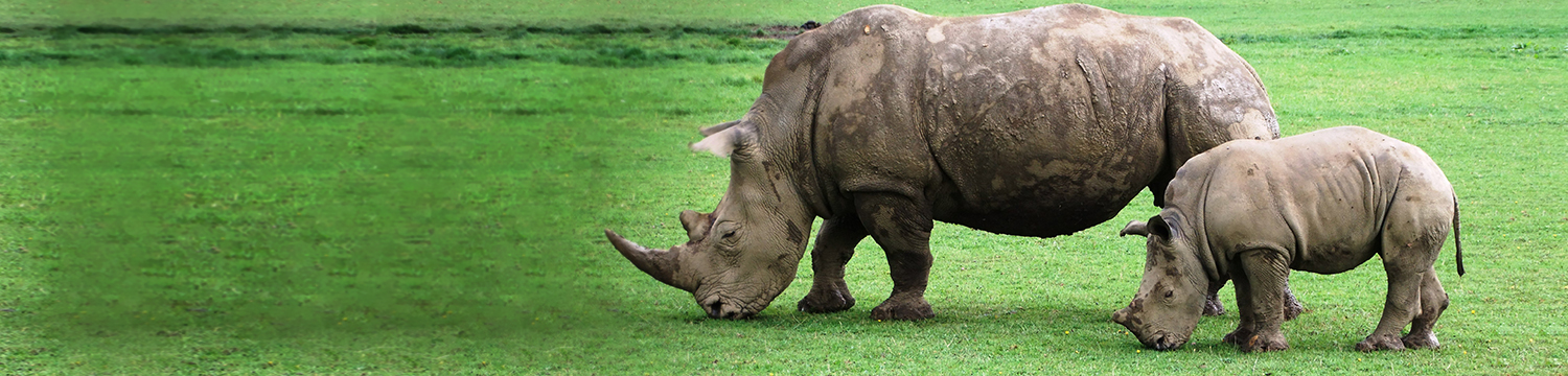 main-image-rhino-on-the-lawn