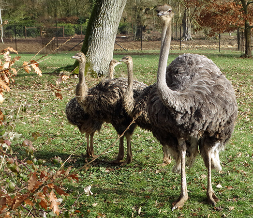 Ostrich with chicks