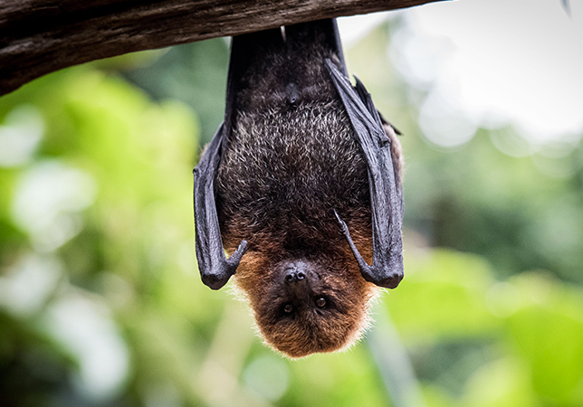 Rodrigues Fruit Bat on show in the Tropical House