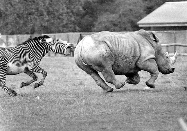 Grevy's Zebra chasing a Rhino