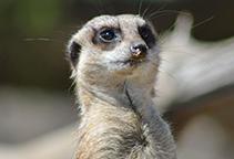 Meerkat Web Cam