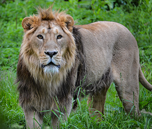 Asiatic lion : Cotswold Wildlife Park and Gardens