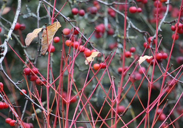 Dogwood berries