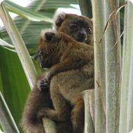 Project Bambo Lemur