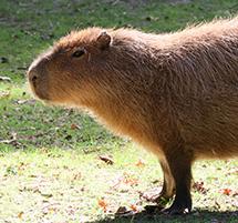 Tapirs and Capybaras Encounters