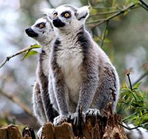 Lemur Encounters