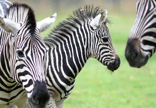 Geri the Zebra