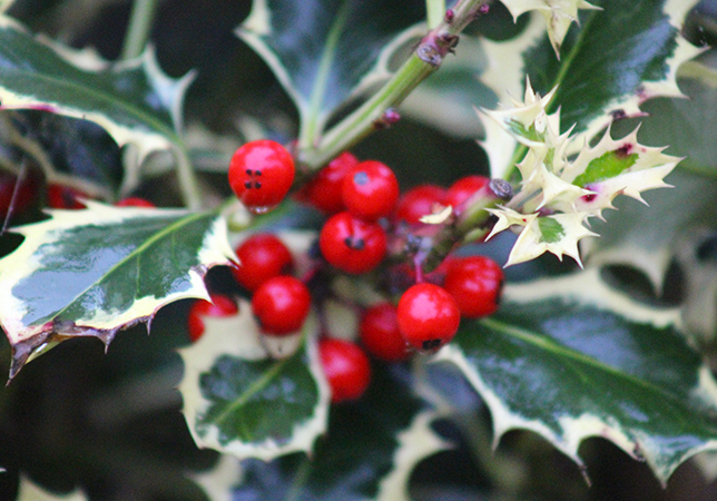 Red Berries of the Holly Tree