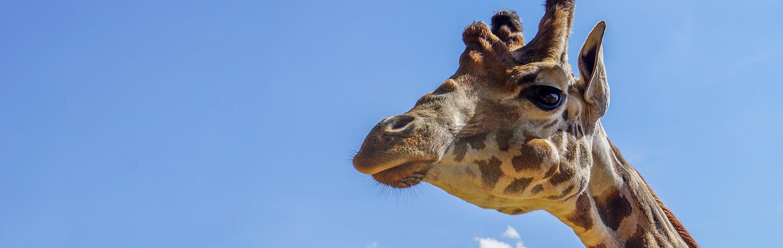 home-image-giraffe