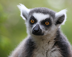 Lemur Weekend