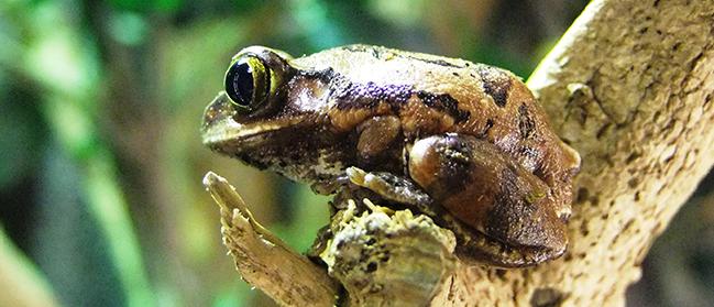 lrg-reptile-peacocktreefrog