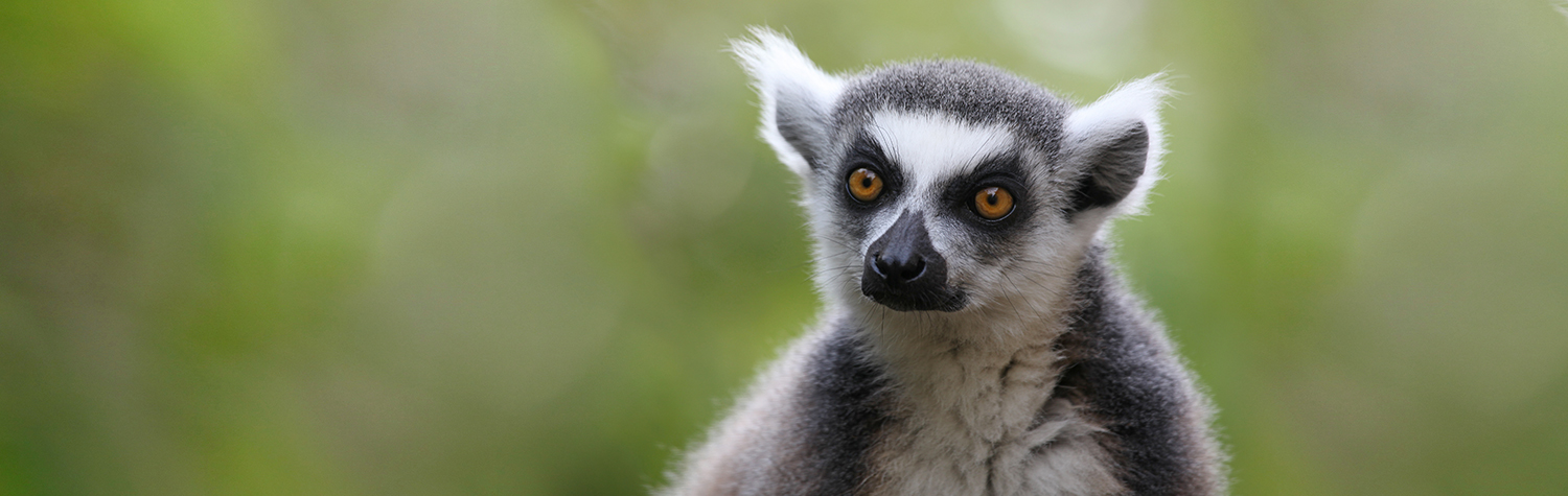main-image-lemur-week