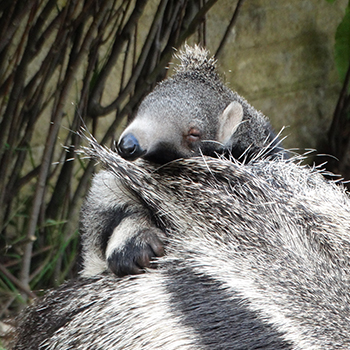 Nelson – Baby Anteater on his mother's back