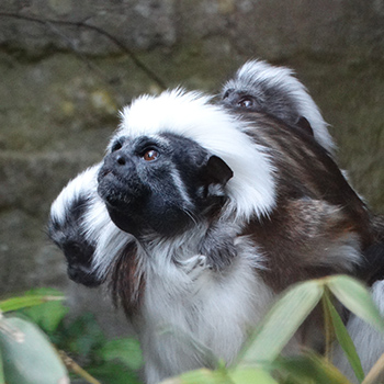 Cotton-top tamarin twin babies