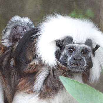Cotton-top tamarin twin babies with dad