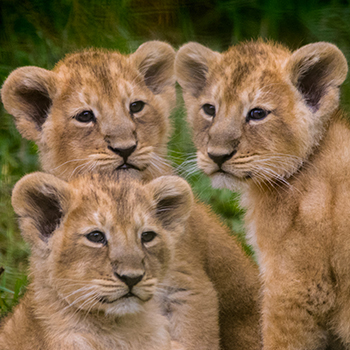 wildlife park celebrates birth of first lion cub triplets in its