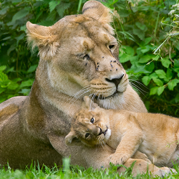 Kanha and one of her cubs