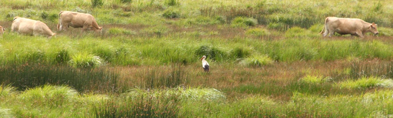White Storks bred at Cotswold Wildlife Park