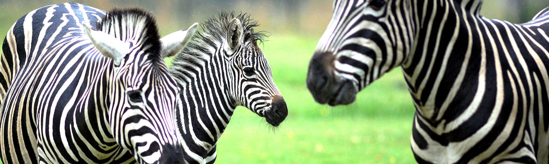 Zebra – Geri