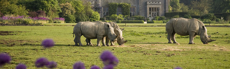 Rhinos on the Lawn