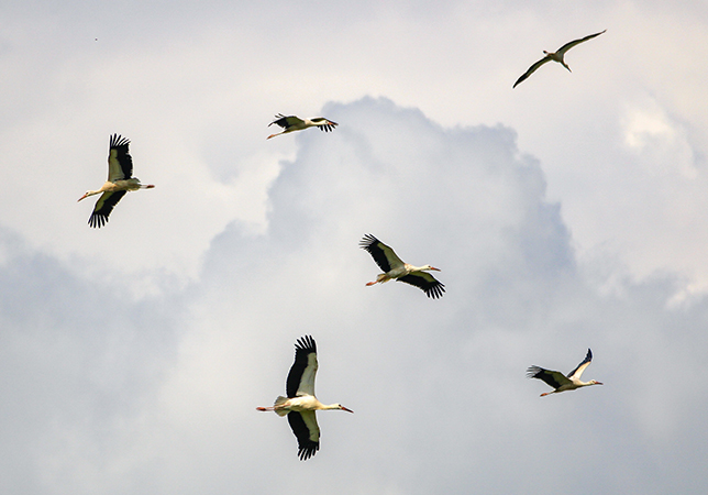 Storks Circling the sky over Knepp Estate Photo Credit: Eleanor Sutton
