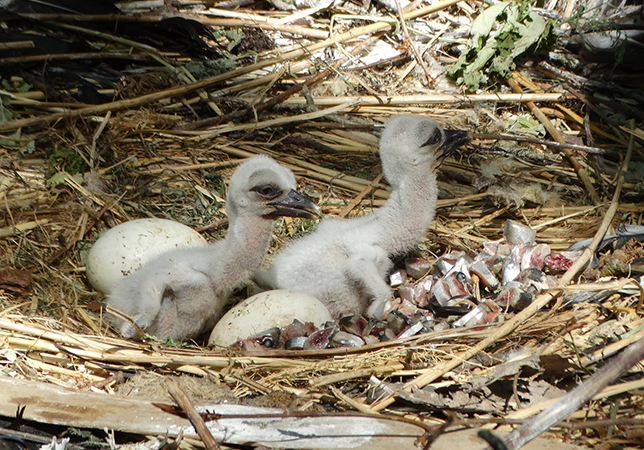 Stork chicks newly hatched at Cotswold Wildlife Park