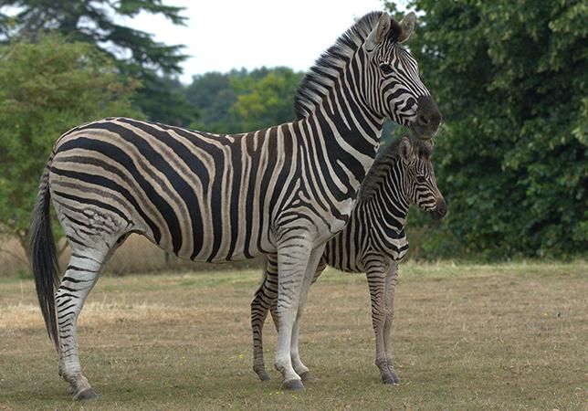 Zebra foal and mum Stella