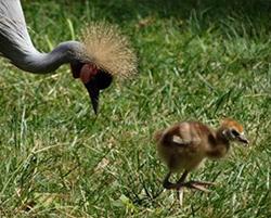 East African cranes