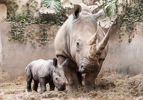 D'Ora the baby Rhino