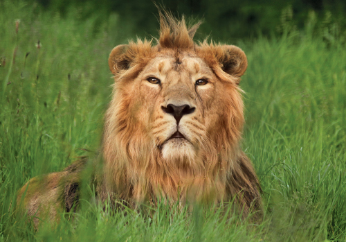 Rana the Lion