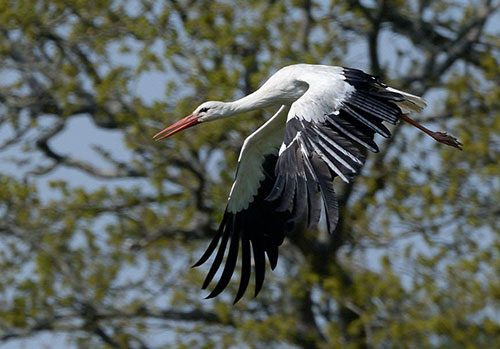 Storks released at Knepp rewilding project