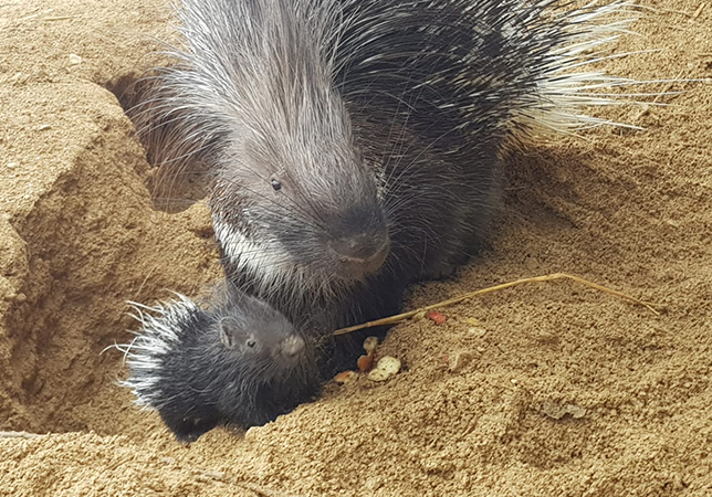 Porcupette with mum