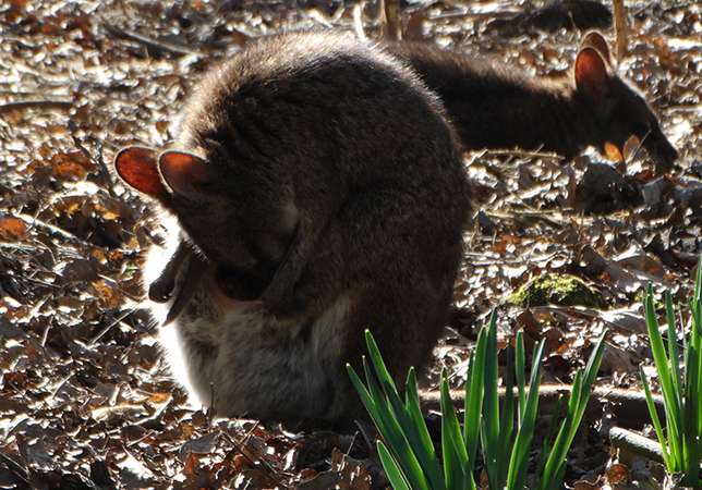 Parma Wallaby Joeys