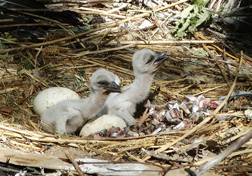 White Stork chicks in the nest