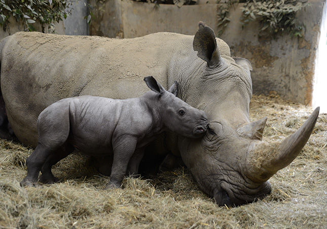 Baby Rhino Stella