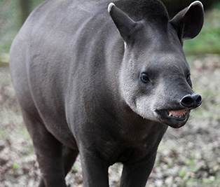 Brazillian tapir : Cotswold Wildlife Park and Gardens